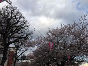 sumida-sakura